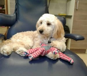 Coco - Dental Therapy Dog Benefits | Root Canal Specialist in Buffalo, NY