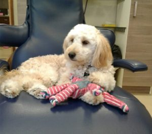 Therapy Dog Benefits | Precision Endodontics, PC | Dental Anxiety | Coco