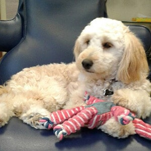 Coco---Therapy-Dog